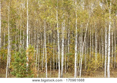 Young green leaves of a birch in the autumn of the year, close-up