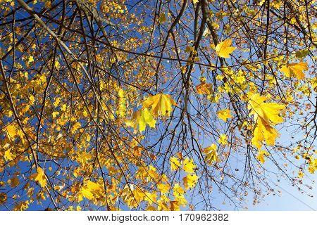 yellowing leaves on maple trees in the fall season. Blue sky in the background. Photo taken closeup. The foliage is illuminated by sunshine in a park. Visible part of the bare branches of plants