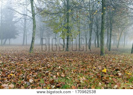 small fog. The foliage of a maple fallen to the ground and the dark trunks of plants. The photo was taken close-up, small depth of field and low visibility due to haze.