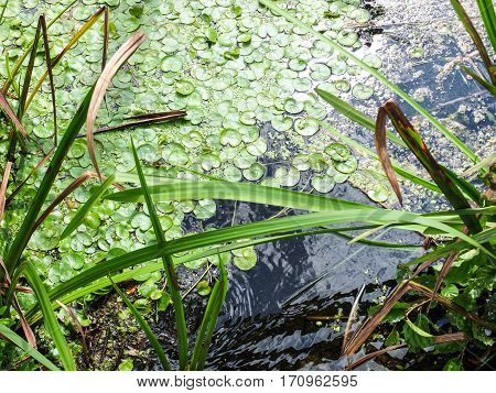 the lake surface with green algae and sea grass with sumbeams