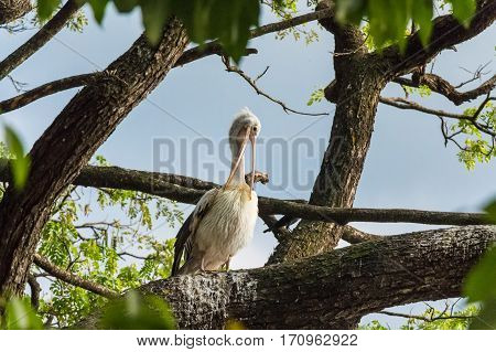 Spotted-billed pelican or Pelecanus philippensis perching on tree in Sri Lanka