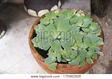 floating herbs growing in a big pot standing on the floor outside, exotic plants, beautiful background