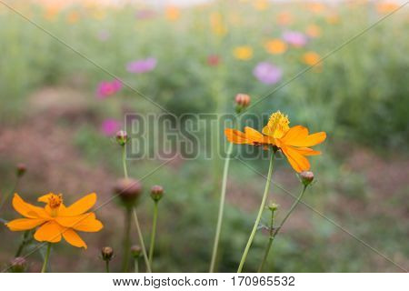 Marigold flower field in rural garden stock photo