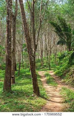 Rubber Plantation In The Morning, Krabi Province, Thailand