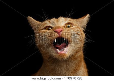 Portrait of Singing Ginger Cat with opened mouth he meowing on Isolated Black background, front view