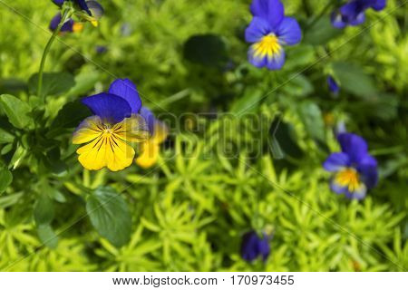 yellow and blue viola flower surrounded by greenery sedum flower close up selective focus blurred floral background