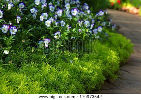 greenery sedum flower and white and blue viola flowers border along the asphalt tile road im park close up selective focus