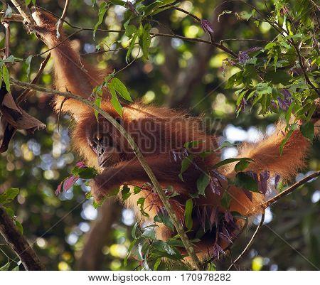 cub orangutan in the jungles of Sumatra