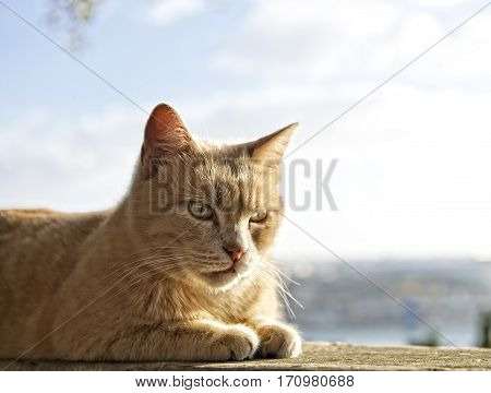 Cat portrait close up, cat in light brown and cream looking with pleading stare at the viewer with space for advertising and text, cat in Valletta background