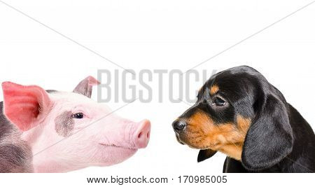 Portrait of a pig and a dog breed Slovakian Hound, closeup, isolated on white background