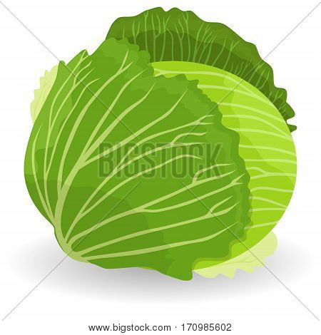 Cabbage vector object. Cabbage icon in flat style. Isolated object. Cabbage logo. Vegetable from the garden. Organic food. Vector illustration.