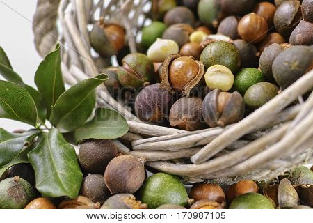 Macadamia nuts harvest close up in shell