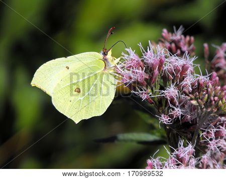 Male Brimstone (Gonepteryx rhamni) butterfly feeding on pink flower