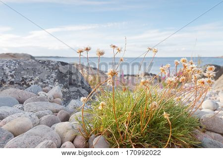 Rocky coastline closeup of white flowers and blue sea in the swedish archipelago