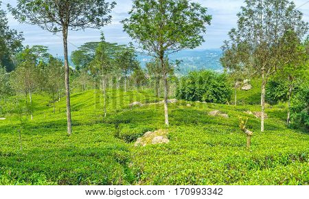 The Tea Fields