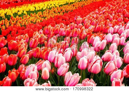 Rows of pink, red, orange and yellow tulip flowers in garden Keukenhof, Netherlands, toned