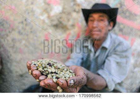Peruvian guy is showing a handful of coffee beans near the city of Piura region called Jijili. In the north of Peru 2011.