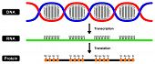 Messenger mRNA RNA in cell nucleus and synthesize Protein Formation by DNA backbone strands two stages transcription and translation the central dogma different step function details sequences poster