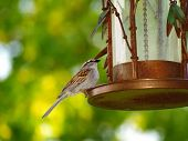 A house sparrow sitting on a bird feeder enjoying her meal. poster