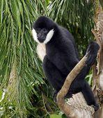 A male White Cheek Gibbon sitting on a tree stump. poster