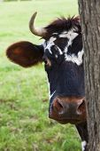 A Normandy cow looking out from behind a tree poster