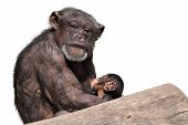 Monkey mother cradling and breast feeding her baby. poster