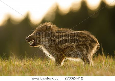 The Wild Boar piglet, sus scrofa is standing in the grass in the backlight of sunset. In the backgound is dark forest. The Piglet has opened snout and his hair lights. poster
