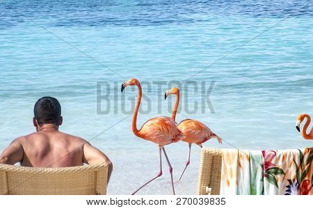 Back View Of A Man Sitting On A Caribbean Beach And Three Pink Flamingos Strolling By Him Leisurely