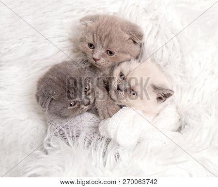 three newborn british fluffy kittens sleeps on white fur