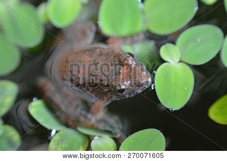 Small Frog In A Pond / Close Up Of Frog Field On Surface With Green Plants Floating In Pond Water -