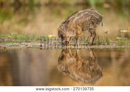 The Wild Boar Piglet, Sus Scrofa Is Standing In The Shoreline Of A Pond In The Golden Light Of Sunse