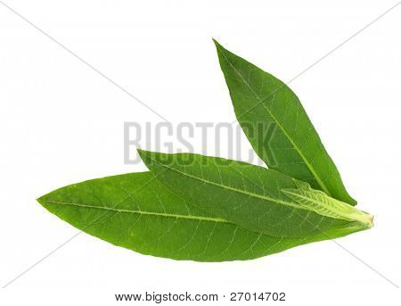 Tobacco plant leaves