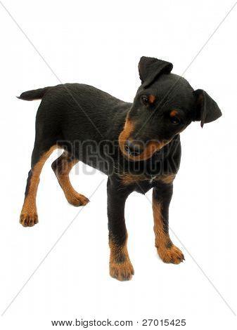 Dog German Hunt Terrier Jagdterrier poster