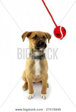 Pet dog puppy looking in ball swinging on pendulum