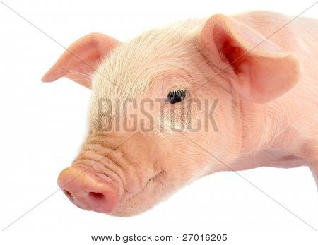 Piglet baby pig head