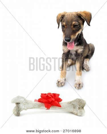 Adopted pariah dog puppy with huge bone