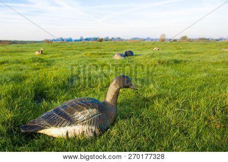 Closeup Of Greylag Goose Hunting Decoy  In Dutch Farmland