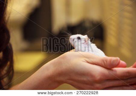 Cute Exotic Female Winter White Dwarf Hamster Standing On Owner Palm Hand. Winter White Hamster Is K