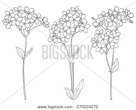 Vector Set With Outline Forget Me Not Or Myosotis Flower Bunch, Bud And Leaf In Black Isolated On Wh