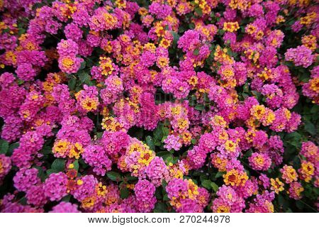 Pink Lantana Flowers. Beautiful Pink Lantana Flowers with hints of Yellow, Green, Gold, Purple, Brown and White.