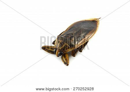 Giant Water Bug Isolated On White Background / Brown Insect Of Giant Water Bug Live In Swamp For Foo