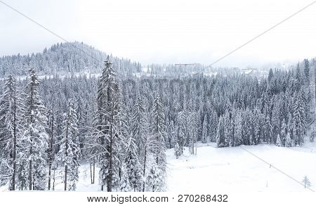 Snow covered pine tree forest and woman who goes deep snow. Mountain Jahorina, near the Sarajevo city. Bosnia and Herzegovina poster