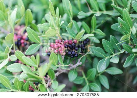 Red berries of a wild mastic bush (Pistacia lentiscus) poster