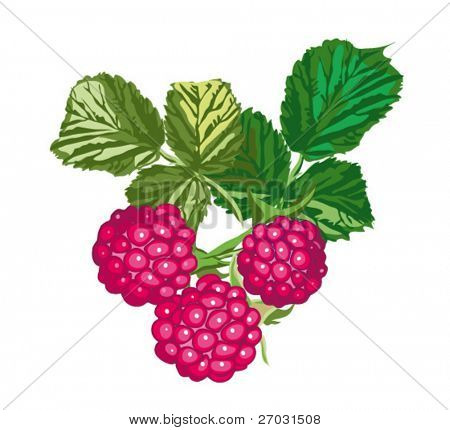Raspberries with leaves, editable vector illustration