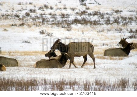 A herd of Elk seem to relax amongst the snow in Colorado's Rocky Mountain National Park poster