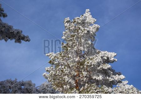 Conifer In Striking  Winter White Hoarfrost Against Sky
