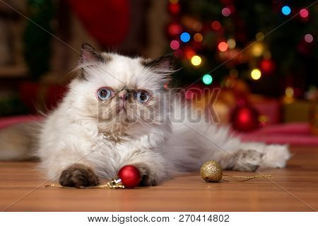 Cute Persian Colorpoint Kitten Is Playing With Some Ball Ornaments In Front Of A Christmas Tree