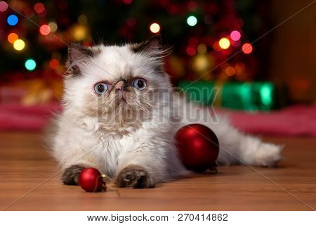 Funny Persian Colorpoint Kitten Is Playing With Some Ball Ornaments In Front Of A Christmas Tree