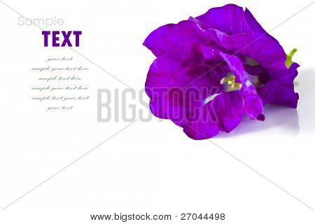 Beautiful purple flowers isolated on white background
