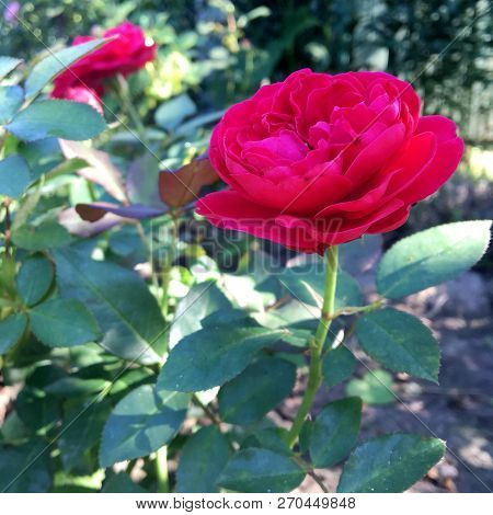 Blooming Flower Rose With Green Leaves, Living Natural Nature, Unusual Aroma Bouquet Flora. Rose Flo